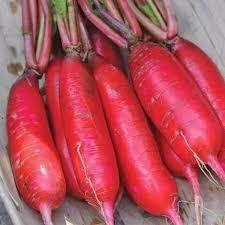 Hạt giống củ cải đỏ dài nhập khẩu thái lan