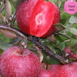 Hạt giống táo đỏ lùn