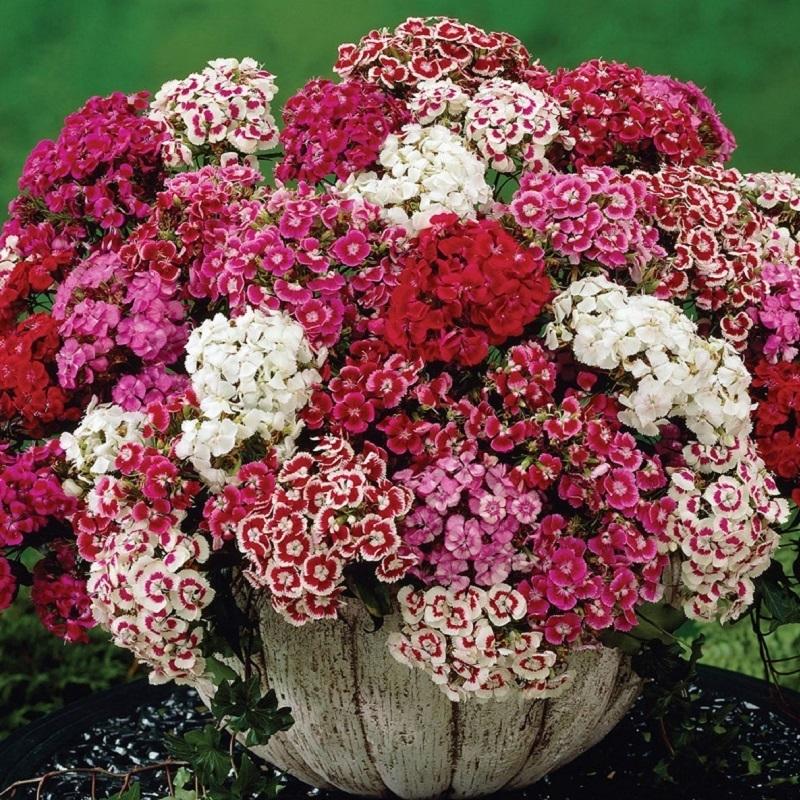 Hạt giống hoa cẩm nhung nhiều màu Rạng Đông