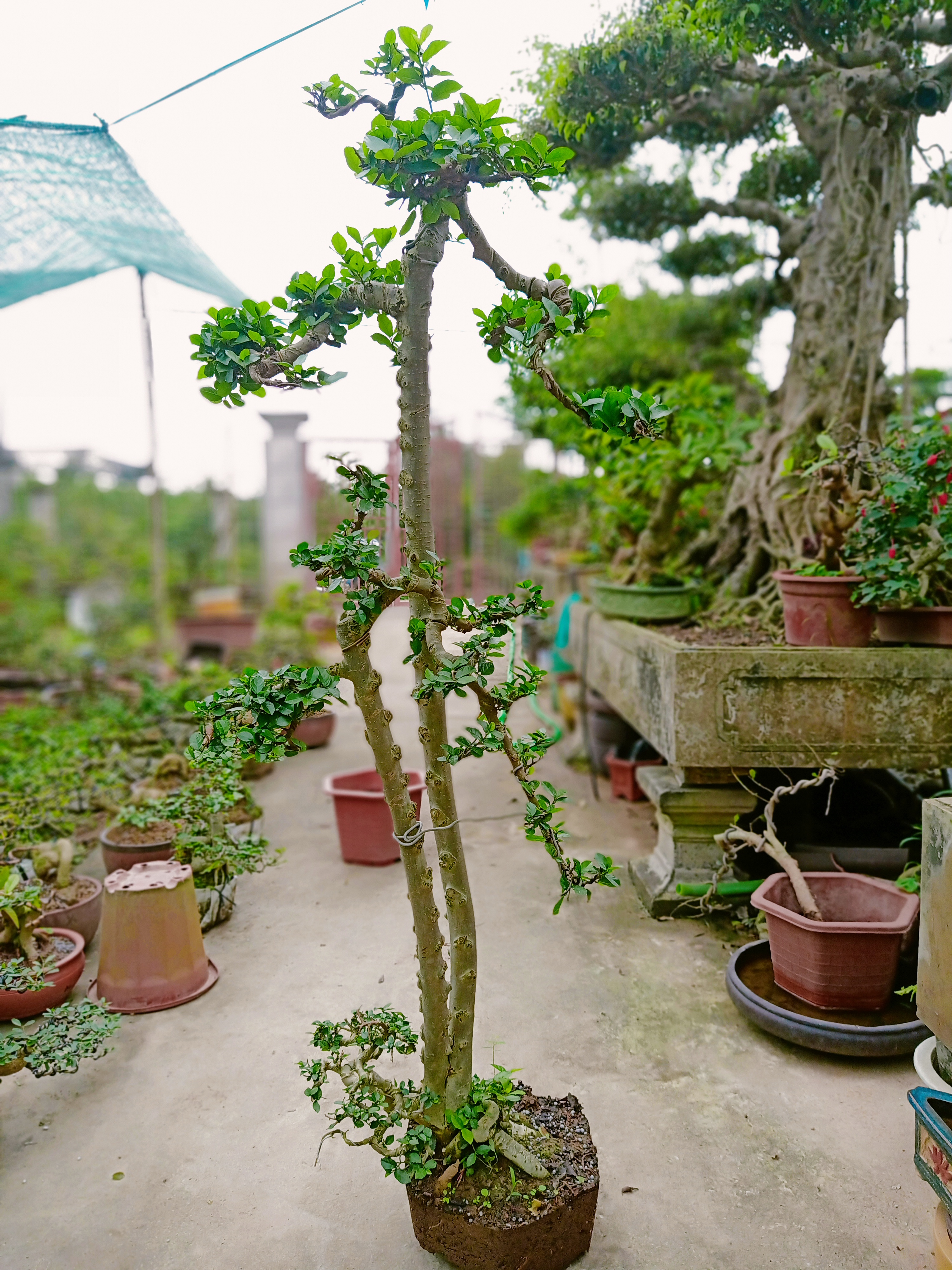 cây duối văn nhân