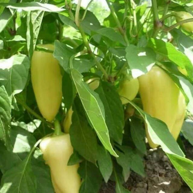 Hạt giống ớt đùi gà nhập khẩu Thái Lan