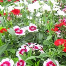 Hạt giống hoa cẩm chướng