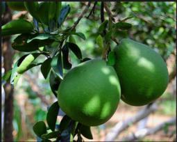 Bưởi da xanh Tân Triều Loại 1 (6 quả/thùng)