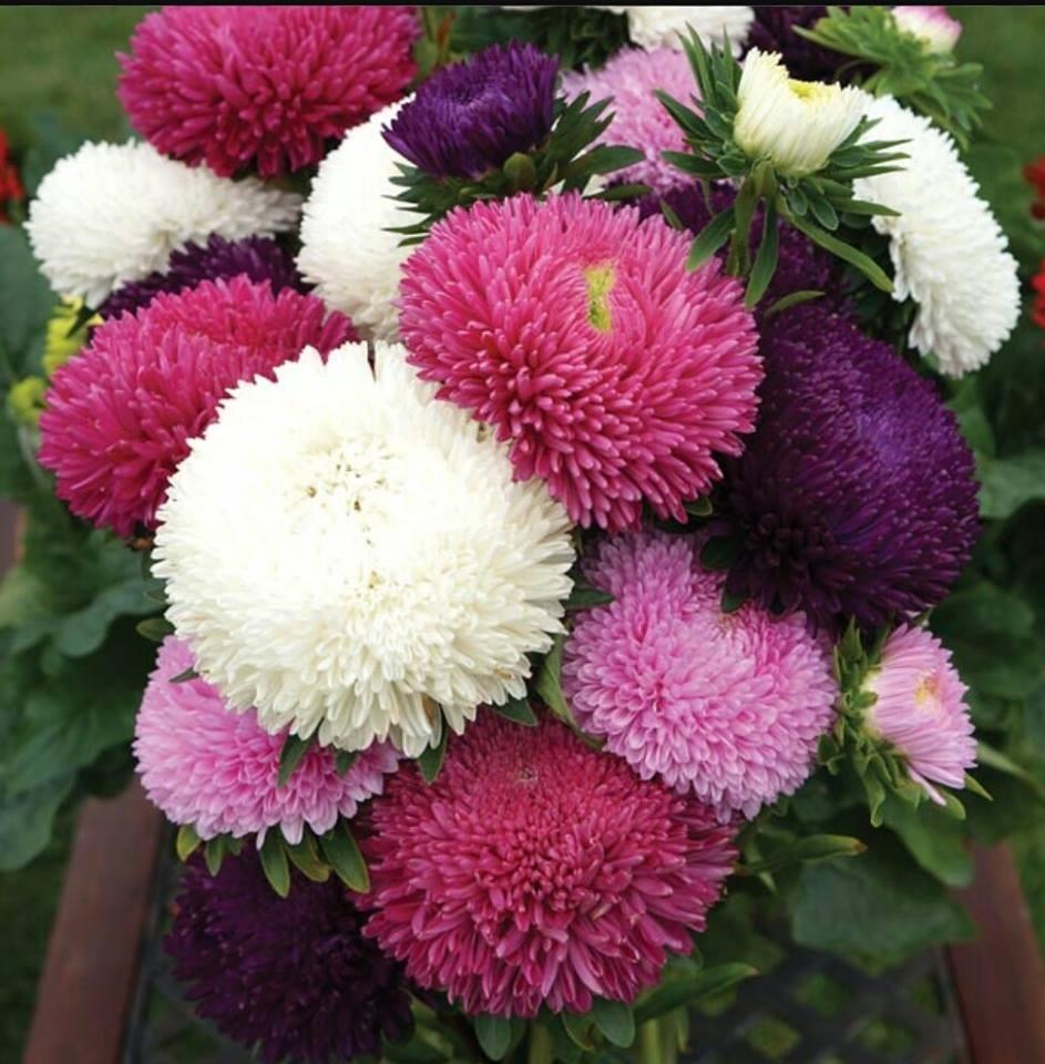 Hạt giống hoa cúc đài loan nhiều màu - 50 hạt