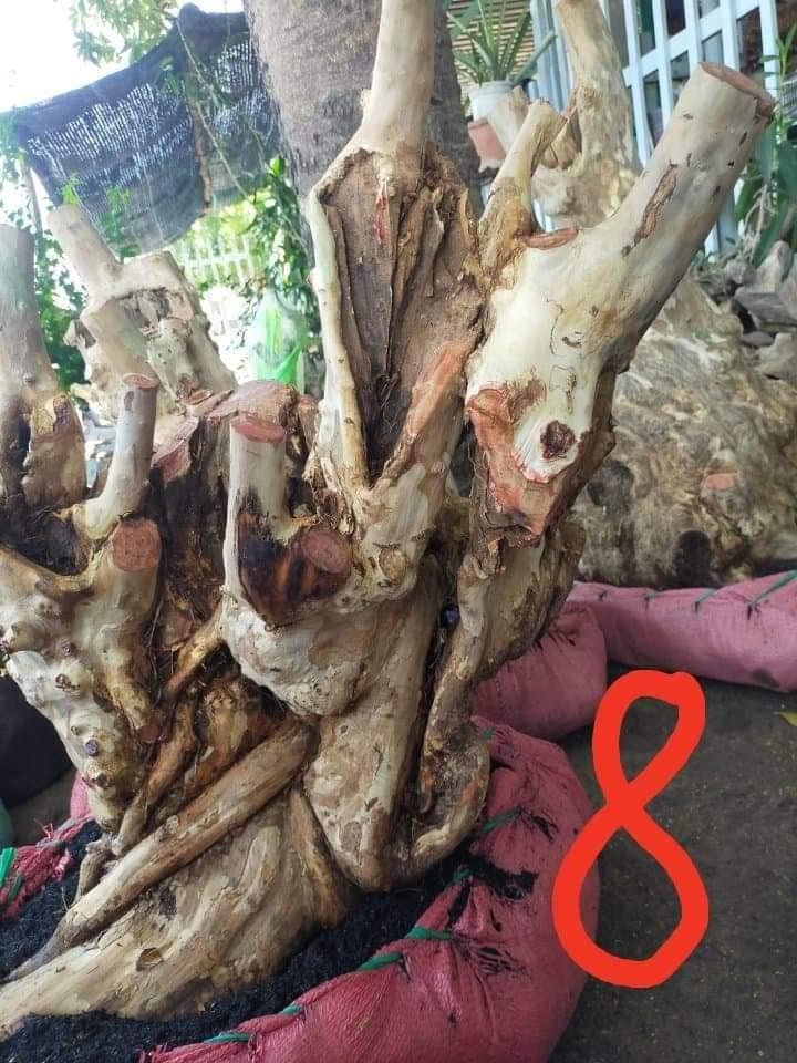 gốc cây bằng lăng tím núi Ninh Thuận