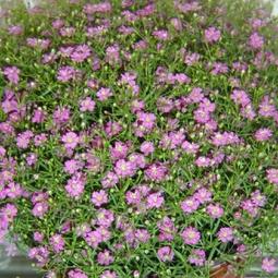 Bộ 5 gói Hạt giống hoa Baby
