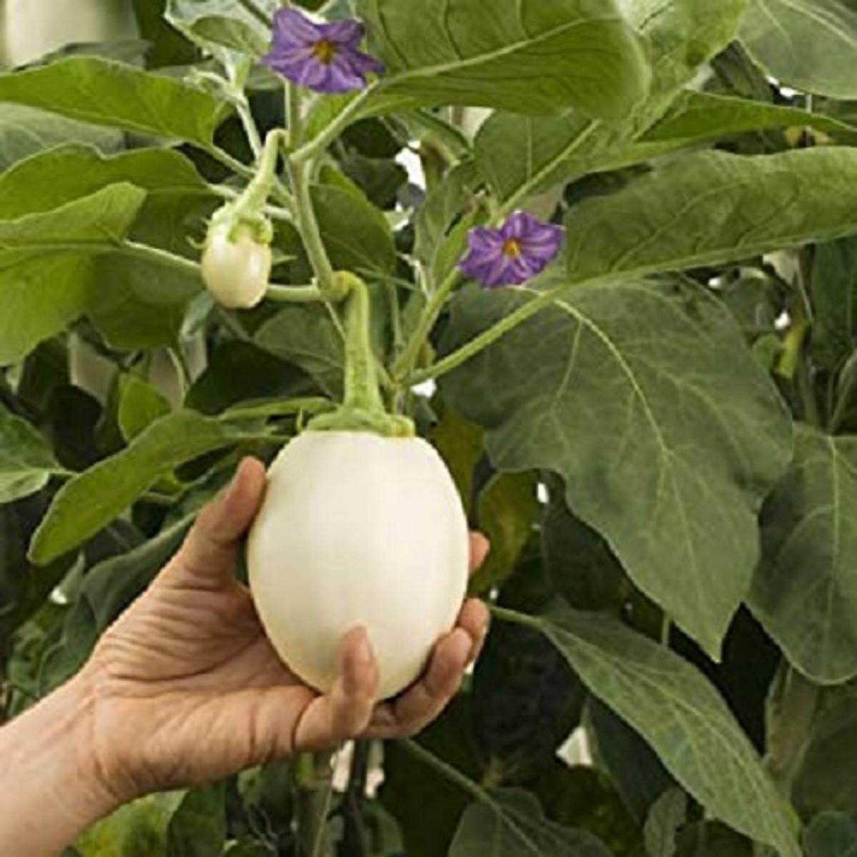 Gói 0.2GR hạt giống Cà Trứng Ngỗng