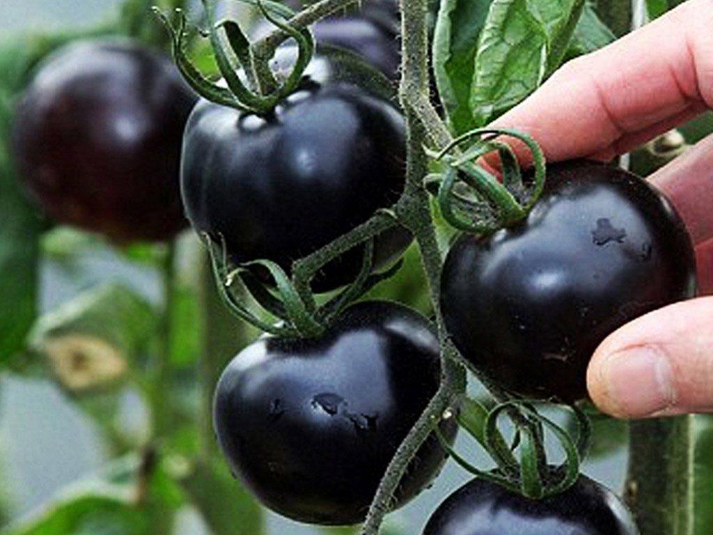 Hạt giống cà chua đen nhập khẩu Mỹ