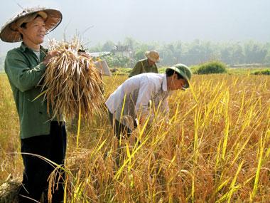 Đặc sản Thái Nguyên - Định Hóa - Gạo bao thai Đinh Hóa (10 Kg)