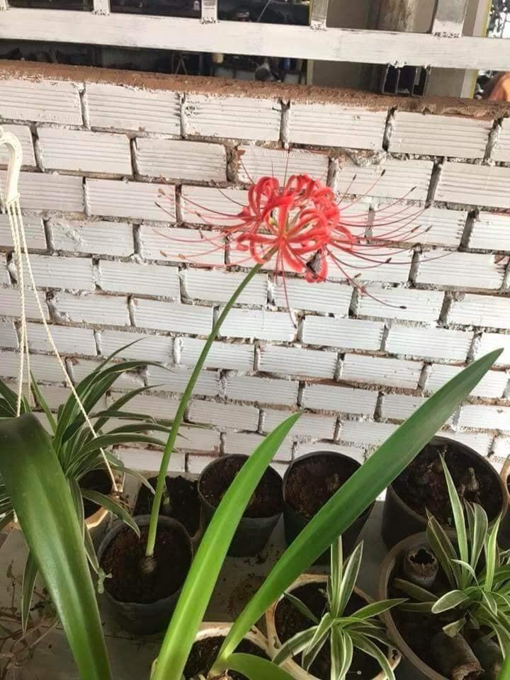 Củ giống Hoa Bỉ Ngạn - màu đỏ