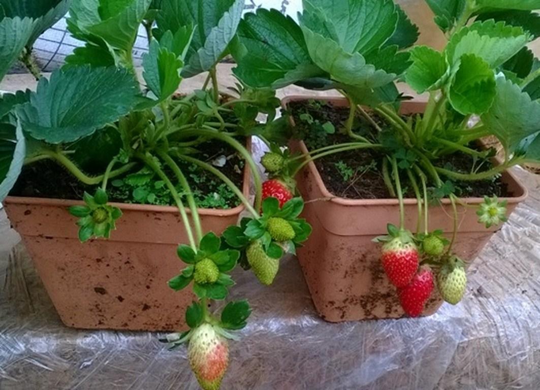 Hạt giống dâu tây đỏ quả to chịu nhiệt F1 - 100 hạt