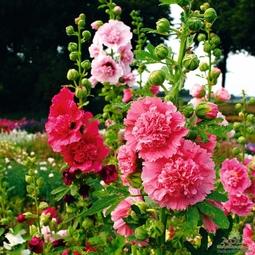 Hạt giống hoa mãn đỉnh hồng