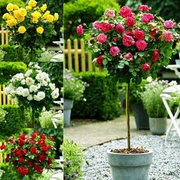 Hạt giống hoa hồng thân gỗ Đức