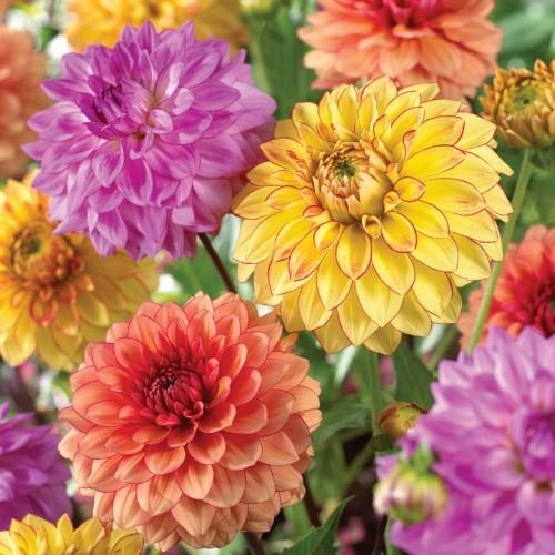Gói 50 hạt giống hoa cúc thược dược nhiều màu - Thế Giới Rau Mầm Shop