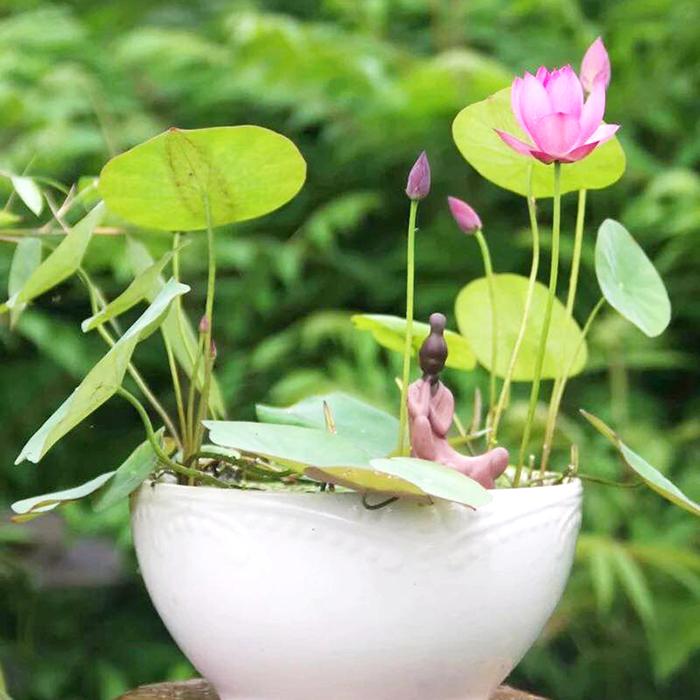 Hạt giống Sen Mini Nhật - COMBO 3 Tui TẶNG 1 Tui