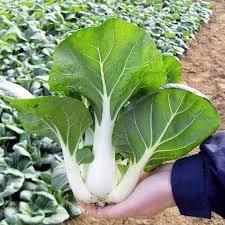 Hạt giống cải pakchoi xanh xoè to nhập khẩu Thái Lan