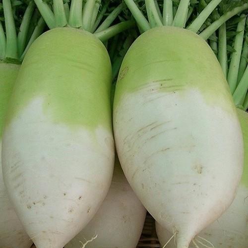 Hạt giống củ cải hàn quốc khổng lồ nhập khẩu Nga