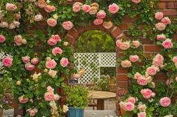 Hạt giống hoa hồng leo Pháp nhiều màu F1 - 20 hạt