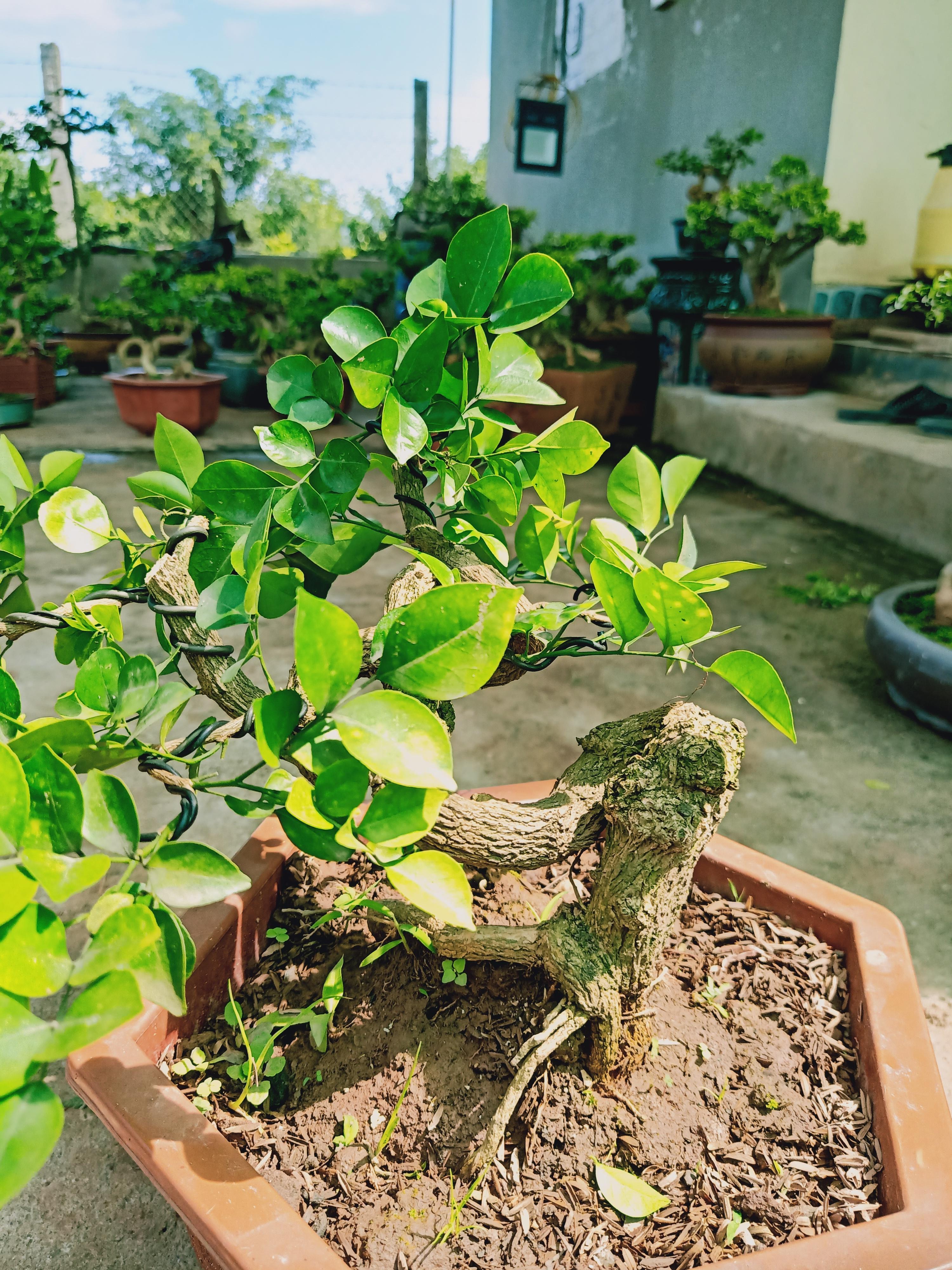 cây nguyệt quế mini dòng siêu hoa (hứa vinh)