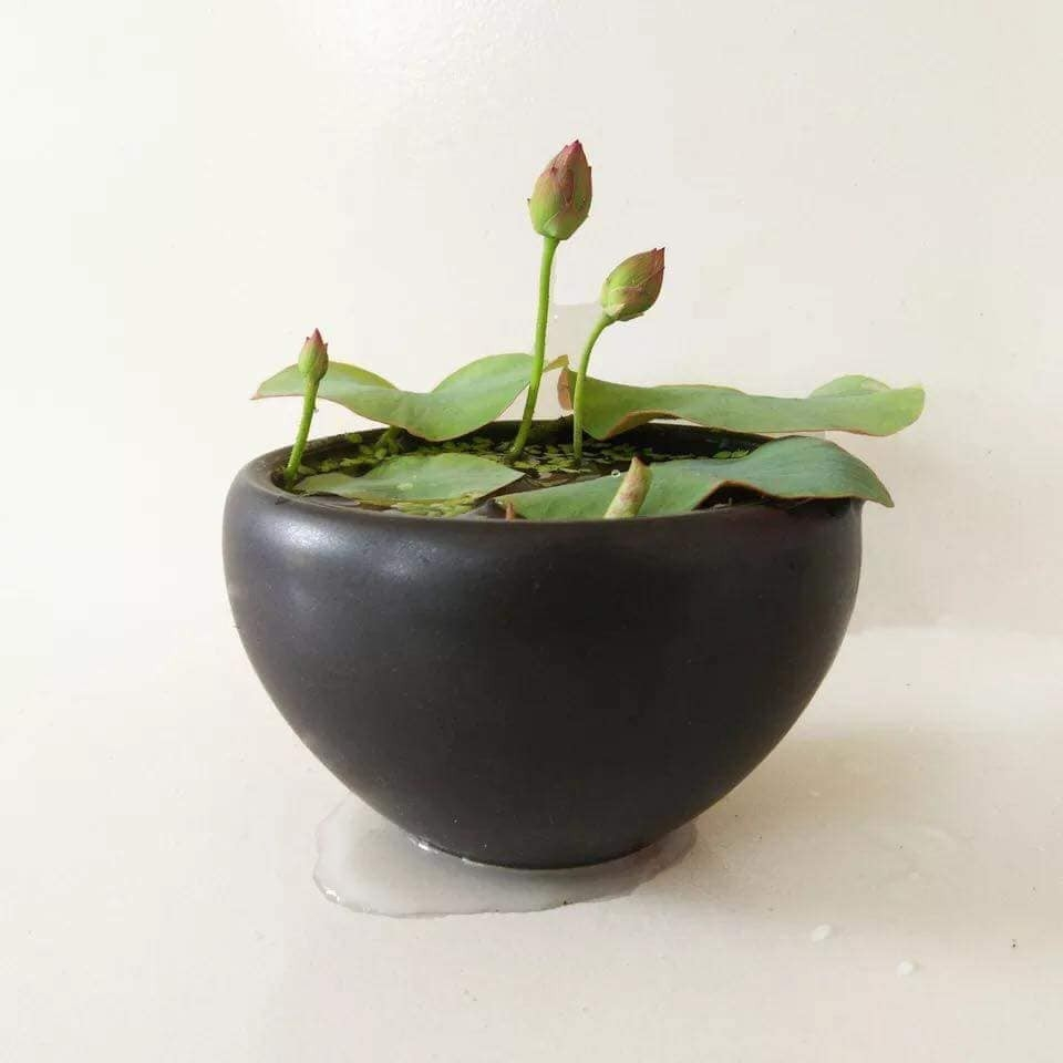 [Đã cắt đầu] Gói 5 Hạt Giống Hoa Sen Nhật Mini mix Nhiều Màu - hạt mới nảy mầm cực chuẩn - kèm hướng dẫn trồng - NanuSeeds - Thế Giới Rau Mầm shop - MÀU HỒNG NHẠT