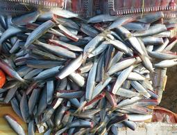 Cá Trích Phú Quốc Làm Sạch Bỏ Đầu