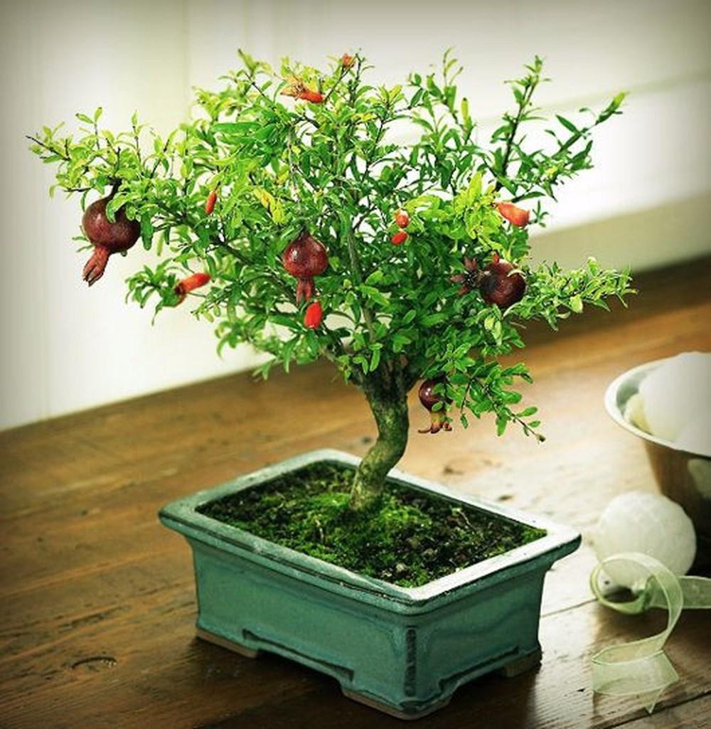 trồng cây Lựu trước cửa nhà sẽ mang lại nhiều may mắn và tài lộc