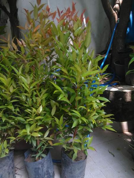 Cây hồng lộc- mang lại ý nghĩa tốt lành-cao 70-80cm