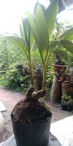 Dừa mini 2 ngọn Bến Tre