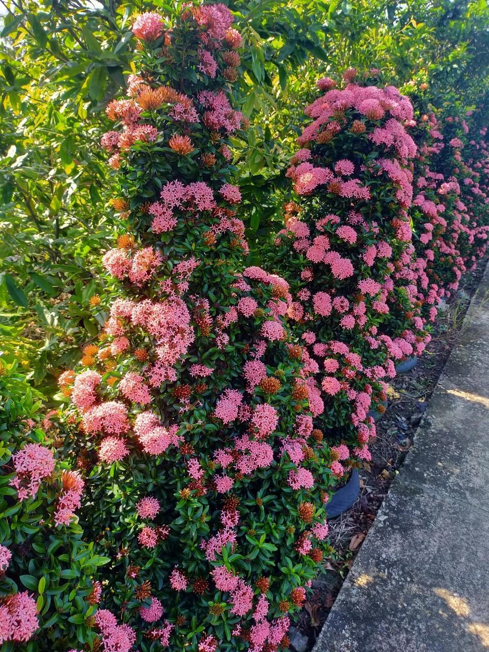 Cây Bông Trang Hồng Phấn